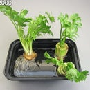 How To Regrow Celery - The Celery Regrew Roots!