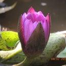 Home Made Lotus Pond