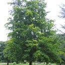 Identifying Beech Trees