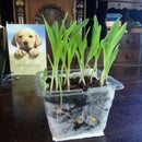Desktop Popcorn Plant