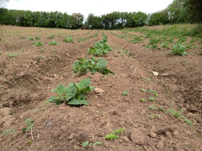 Ridging Up the Rows of Potatoes